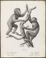 Simia satyrus - 1809-1845 - Print - Iconographia Zoologica - Special Collections University of Amsterdam - UBA01 IZ19800043.tif