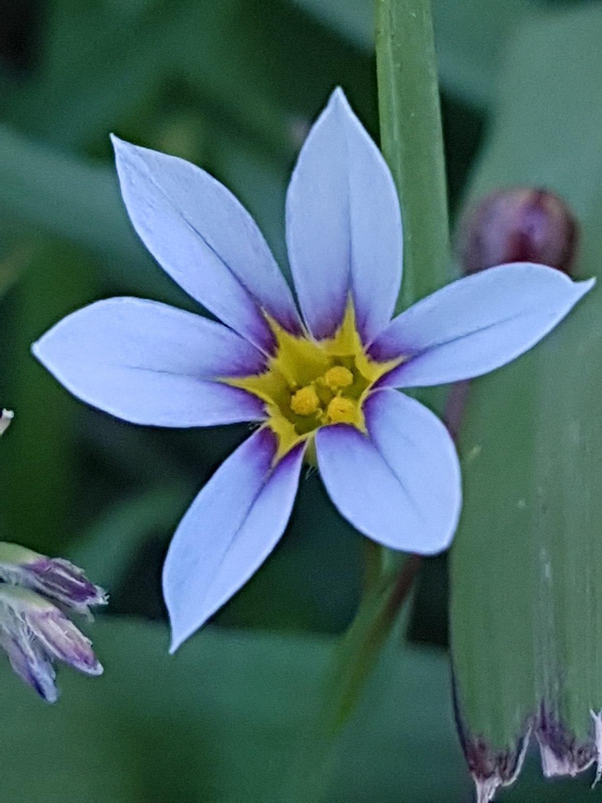 Sisyrinchium Micranthum Wikipedia