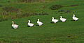 Six Geese a-Walking (towards the canal at Micklethwaite).jpg