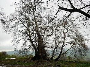Şıx Dursun - Tnjri - a 2000-year plane-tree in the village Skhtorashen, Martuni district