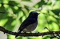 Slaty-blue flycatcher (Ficedula tricolor) 30.jpg