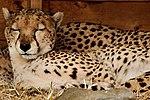Sleepy Cheetah - Whipsnade Zoo (33149652216).jpg
