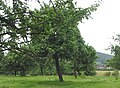 Small orchard near Archenfield - geograph.org.uk - 482368.jpg