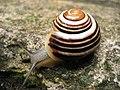 Snail jena.JPG