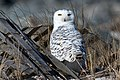 Snowy owl in hide, cupsogue beach (31912236824).jpg