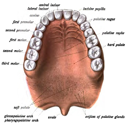 mdash human mouth diagram roof of mouth diagram #12