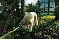 Soft Coated Wheaton Terrier (13973059418).jpg