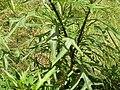 Solanum aviculare leaves.jpg
