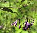 Solanum dulcamara Moshchun1.JPG