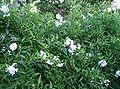 Solanum jasminoides3.jpg