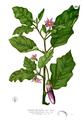 Solanum melongena Blanco2.265.png