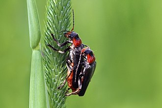 Cantharis - Cantharis fusca mating Kampinos Forest, Poland