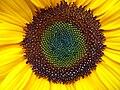 Sonnenblume Hüllkelch.JPG