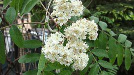 Sorbus, flower.jpg