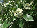 Sorbus badensis 200513.jpg