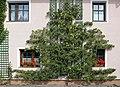Spalier-Birnbaum in Niederschrems 2019-08.jpg