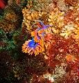 Spanish shawl nudibranch (Flabellina iodinea) CINMS.jpg