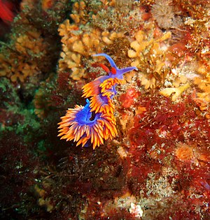 Channel Islands National Marine Sanctuary - Spanish shawl nudibranch seen in shallow water,  CINMS