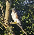 Sparrowhawk at the bottom of the garden 4 (5339458238).jpg