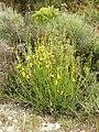 Spartium junceum (habitus).jpg