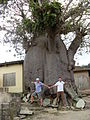 Special huge tree in village VoltaRegion.JPG