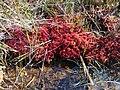 Sphagnum magellanicum France Nlle Aquitaine Landes 2017-09-21 01.jpg