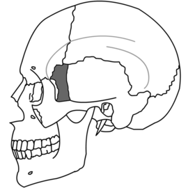 Sphenoid Bone Simple.png