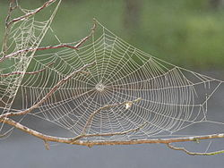 Spider web with dew.JPG