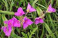 Spiderwort flowers tradescantia virginiana l.jpg