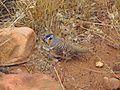 Spinifex Pigeon - Flickr - GregTheBusker.jpg