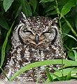 Spotted Eagle Owl (Bubo africanus) female (32928360666).jpg
