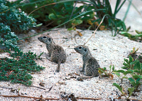 Description de l'image Spotted ground squirrel.jpg.