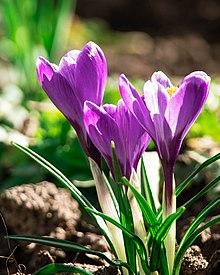 Was Ergibt Lila : violett wikipedia ~ Watch28wear.com Haus und Dekorationen