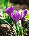 Spring2crocus.jpg