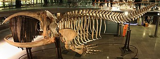 Right whale - Southern right whale skeleton