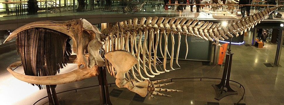 Squelette baleine australe