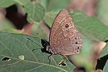 Squinting bush brown (Bicyclus anynana anynana).jpg