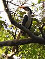 Sri Lanka Grey Hornbill Ocyceros gingalensis by Dr. Raju Kasambe DSCN3750 (2).jpg