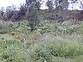 Starr-020103-0012-Montanoa hibiscifolia-habit in gulch-old Kula Rd-Maui (24519377196).jpg