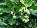 Starr-061106-1468-Calophyllum inophyllum-flowers-Maui Nui Botanical Garden-Maui (24500470759).jpg