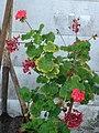 Starr-080531-4876-Pelargonium x hortorum-flowering habit-Halsey Dr around residences Sand Island-Midway Atoll (24282769874).jpg