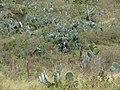 Starr-090430-6573-Opuntia ficus indica-habit-Kula-Maui (24926655286).jpg