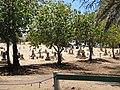 Starr-090709-2522-Cordia subcordata-habit view Puupiha cemetery-Lahaina-Maui (24875932811).jpg