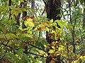 Starr-091029-8732-Fraxinus uhdei-fall foliage and trail-Olinda-Maui (24360386333).jpg