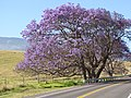 Starr-100505-5986-Jacaranda mimosifolia-flowering habit and road-Kula-Maui (24670016319).jpg