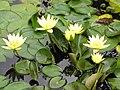 Starr-100803-8460-Nymphaea sp-yellow flowering habit-Enchanting Floral Gardens of Kula-Maui (24927680742).jpg