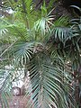 Starr-110209-0633-Phoenix roebelenii-habit-Resort Management Group Nursery Kihei-Maui (25074189565).jpg