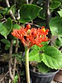 Starr-110215-1099-Jatropha podagrica-flowers-KiHana Nursery Kihei-Maui (25075612035).jpg