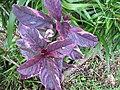 Starr-110330-3704-Graptophyllum pictum-leaves-Garden of Eden Keanae-Maui (24987346001).jpg