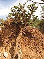 Starr-110929-9582-Metrosideros polymorpha-showing large root on roadcut-Hanaula-Maui (24749197559).jpg